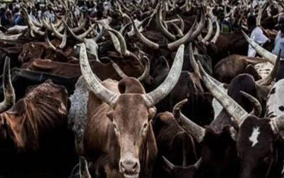 بقرتين مقابل كلاشنكوف في ولاية زمفارا النيجيرية