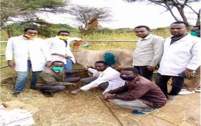 إستخراج 50 كيلو بلاستيك من معدة بقرة بإثيوبيا