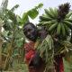 الموز كنز السودان المهمل .. دعما للفترة الانتقالية