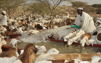 صرخة من السودان … الثروة الحيوانية ذهب مهدور بين المراعي والحكومات