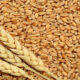 23 جوال لفدان القمح أعلي إنتاجية بمشروع الجزيرة والمتوسط 10 جوالات