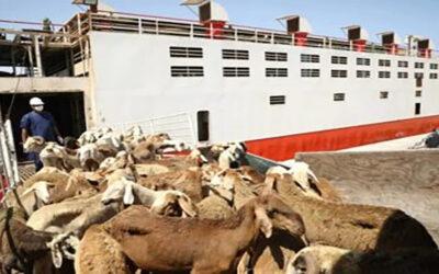إرجاع 5155 رأس من الضأن من السعودية إلى السودان