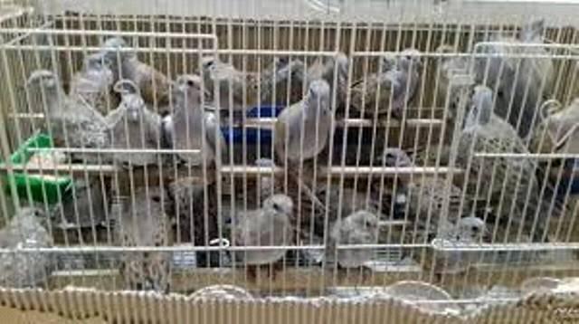القبض علي راكب متجه للسعودية بحوزته ١٠ طائر قمري