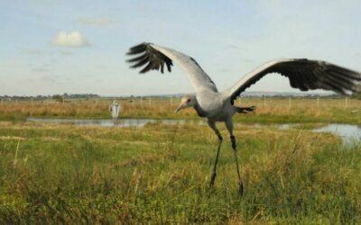 عودة طائر عملاق لموطنه الأصلي بعد غياب ٣٠٠ عام