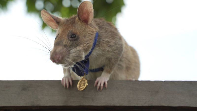 """إحالة """"فأر"""" من عمله في الكشف عن الألغام إلى التقاعد"""